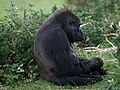 Gorilla gorilla (mother and child).jpg