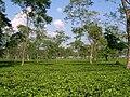 Gorumara Neora Tea Estate Arnab Dutta.JPG