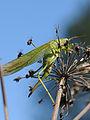 Grünes Heupferd ♀ Tettigonia viridissima 2.JPG