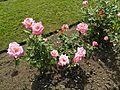 Grandiflora - Pink Parfait 3 (b).JPG