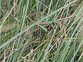 Grasshopper hiding in grass 2004-08-29.jpeg