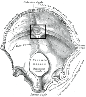 Internal occipital protuberance - Occipital bone. Inner surface. (Internal occipital protuberance visible at center, at the center of the horizontal and vertical lines.)