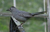 GrayCatbird.jpg