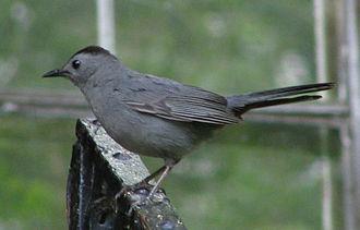 Catbird - Gray catbird