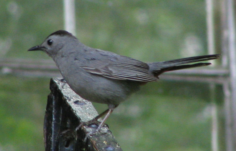 File:GrayCatbird.jpg