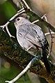 Gray catbird (4608075273).jpg