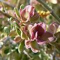 Grayia spinosa 5.jpg