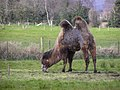 Grazing camel, Omagh - geograph.org.uk - 733454.jpg