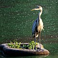 Great Blue Heron (4854746687).jpg