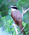 Great Kiskadee (25767256303).jpg