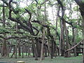 Great banyan tree kol.jpg