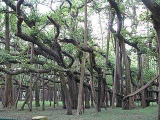 <i>Ficus benghalensis</i> species of plant