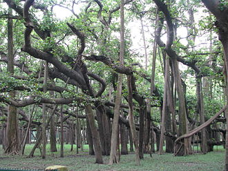 Ficus benghalensis - The Great Banyan in Howrah, Kolkata