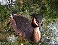 Great crested grebe, Podiceps cristatus, Skäggdopping (8659784259).jpg