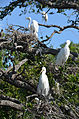 Great egret rookery by Bonnie Gruenberg.jpg