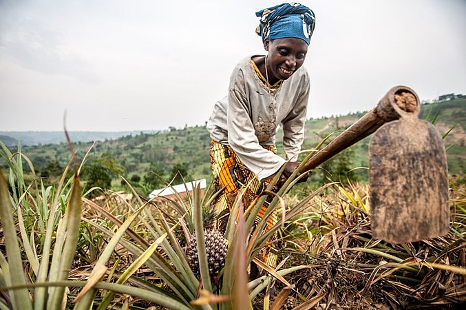 Photograph of smiling elderly woman tending to her pineapple farm with a hoe