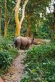 Great one horned rhino - chitwan national park.jpg