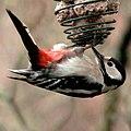 Great spotted woodpecker, Dendrocopos major, Större hackspett (49345616337).jpg