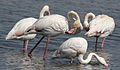 Greater Flamingo, Phoenicopterus roseus at Marievale Nature Reserve, Gauteng, South Africa (21459918482).jpg