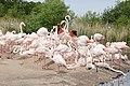Greater Flamingo at Slimbridge Wetland Centre 22May2019 arp.jpg
