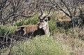 Greater Kudu (Tragelaphus strepsiceros) (32495239442).jpg
