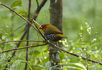 Green-backed Twinspot - Budongo - Uganda 06 4855 (22568909327).jpg