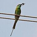 Green Bee-eater (Merops orientalis) in Hyderabad W IMG 5671.jpg