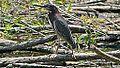 Green Heron (8430121805).jpg