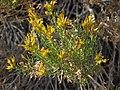 Green rabbitbrush, Ericameria teretifolia (16268983502).jpg
