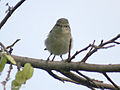 Greenish Warbler I IMG 0567.jpg