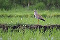 Grey-headed Lapwing (27666413762).jpg