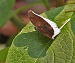 Grey Count (Tanaecia lepidea) at Samsing, Duars, West Bengal W IMG 6148.jpg