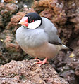 Grey bird Java Sparrow.jpg