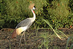 Grey crowned crane2.jpg