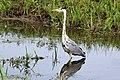 Grey heron (Ardea cinerea).jpg