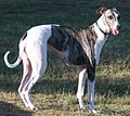 Greyhound.crop..JPG