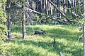 Grizzly bear in Yellowstone NP (2).jpg