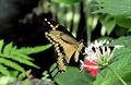 Großer Schwalbenschwanz (Papilio cresphontes) 3.jpg