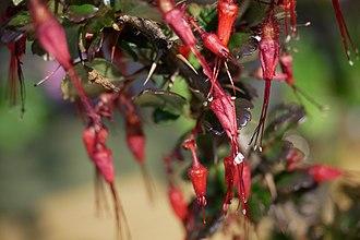 Ribes - Ribes speciosum (fuchsia-flowered gooseberry)