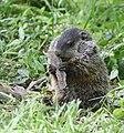 Groundhog (47852811331).jpg