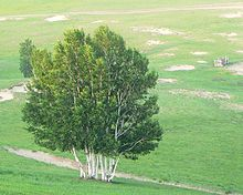 Group of birches (2005).jpg
