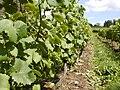 Growing on the vine - Halfpenny Green Vineyard - geograph.org.uk - 673147.jpg
