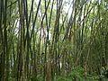 Guadua angustifolia Kunth.jpg