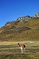 Guanaco en la Patagonia.jpg