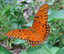 Gulf Fritillary Butterfly on a Lantana 18 crop 2.jpg