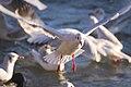 Gull in flight (39153680571).jpg