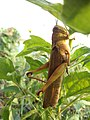 Gunung Kidul Grasshopper.jpg