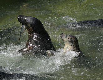 Cornish Seal Sanctuary - Seals at the sanctuary