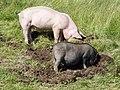 Hängebauchschwein und Hausschwein.JPG