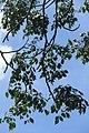HK CWB 高士威道 Causeway Bay Road 維多利亞公園 Victoria Park tree Sept 2017 IX1 41.jpg